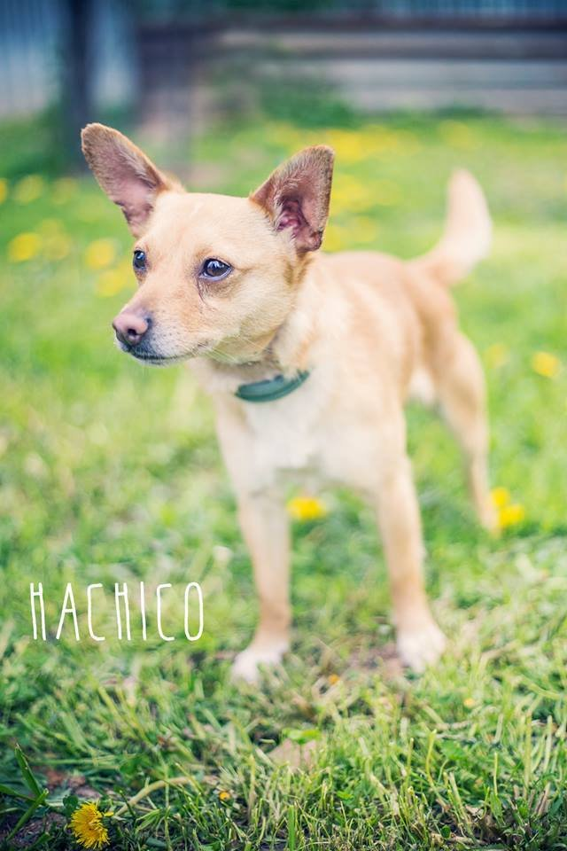 Hachico